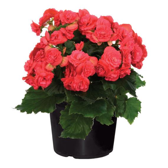 Begonia_Rossa