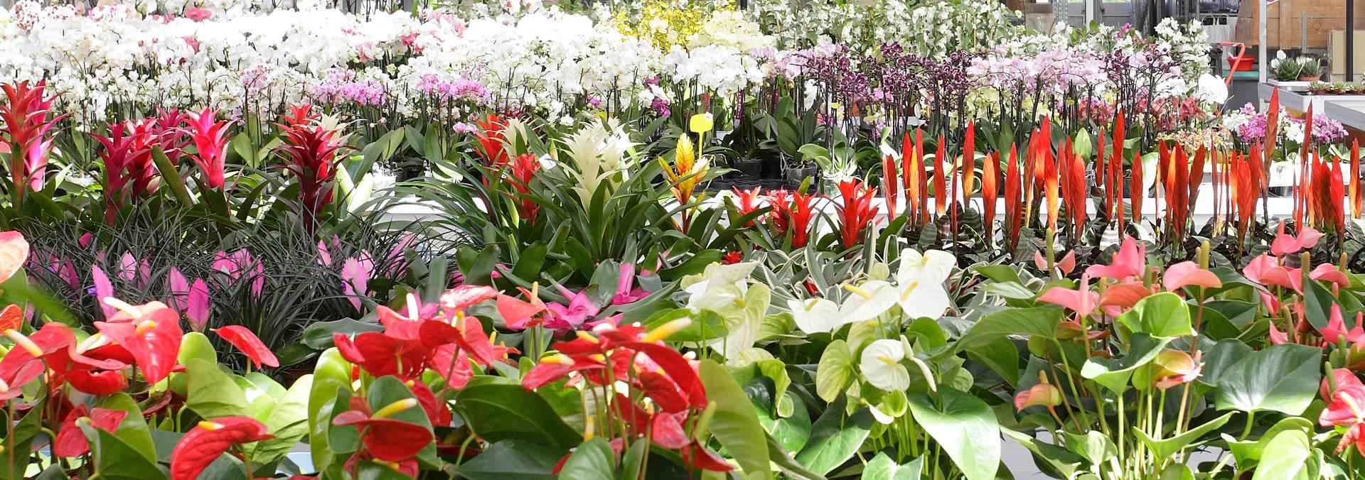Ingrosso di fiori e piante ornamentali